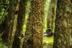 chiuda sull'albero di gomma o sul hevea brasiliensis Fotografia Stock