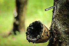 chiuda sull'albero di gomma o sul hevea brasiliensis Immagine Stock Libera da Diritti