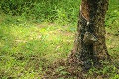chiuda sull'albero di gomma o sul hevea brasiliensis Fotografie Stock