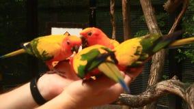 Chiuda sull'alimentazione dei pappagalli variopinti che si siedono sulla mano umana stock footage