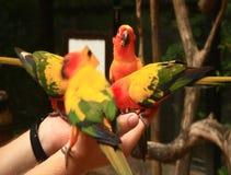 Chiuda sull'alimentazione dei pappagalli variopinti che si siedono sulla mano umana archivi video
