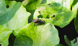 Chiuda sull'allevamento nero della mosca comune sulla foglia verde Immagine Stock Libera da Diritti