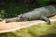 Chiuda sull'alligatore Fotografie Stock Libere da Diritti