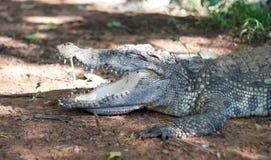 Chiuda sull'alligatore di sonno su terra Fotografia Stock