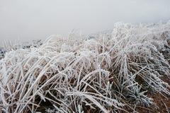 Chiuda sull'alta erba del gelo su nebbia Fotografie Stock