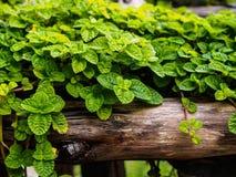 Chiuda sull'edera su piccolo legname immagini stock libere da diritti