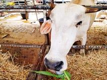 Chiuda sull'erba verde e sulla paglia del cibo capo bianco della mucca in recinto per bestiame o in fattoria degli animali immagini stock