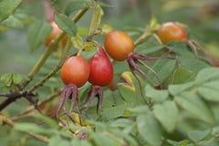 Chiuda sull'immagine dei frutti rosa dell'Amur fotografie stock
