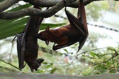 Chiuda sull'immagine dei pipistrelli Immagine Stock Libera da Diritti