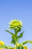 Chiuda sull'immagine del fiore del sole Fotografie Stock