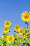 Chiuda sull'immagine del fiore del sole Fotografia Stock Libera da Diritti