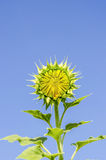 Chiuda sull'immagine del fiore del sole Fotografia Stock