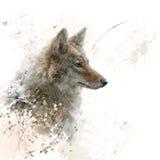 Chiuda sull'immagine dell'acquerello del coyote Fotografia Stock Libera da Diritti
