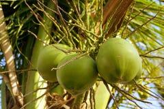 Frutta dei Cochi Fotografie Stock Libere da Diritti