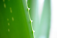 Chiuda sull'immagine di aloe verde Vera Leafs su fondo bianco Fotografie Stock Libere da Diritti
