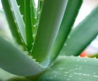 Chiuda sull'immagine di aloe verde Vera Leafs su fondo luminoso Fotografie Stock