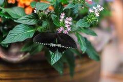 Chiuda sull'immagine di bella farfalla variopinta che si siede su un fiore immagine stock libera da diritti