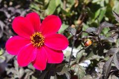 Chiuda sull'immagine di singola ciliegia Dahlia Mystic Allure Flower fotografia stock
