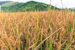 Chiuda sull'immagine di un giacimento del riso in Punakha, Bhutan Fotografia Stock Libera da Diritti