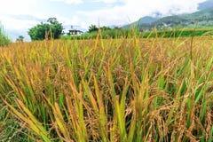 Chiuda sull'immagine di un giacimento del riso in Punakha, Bhutan Fotografia Stock