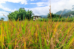 Chiuda sull'immagine di un giacimento dorato del riso in Punakha, Bhutan Fotografie Stock