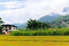Chiuda sull'immagine di un giacimento dorato del riso in Punakha, Bhutan Fotografia Stock Libera da Diritti