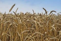 Chiuda sull'immagine sul grano riped archivato Grani e paglie gialli secchi nel giorno di estate che aspetta la mietitrebbiatrice Immagini Stock
