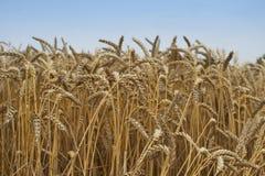 Chiuda sull'immagine sul grano riped archivato Grani e paglie gialli secchi nel giorno di estate che aspetta la mietitrebbiatrice Fotografia Stock Libera da Diritti
