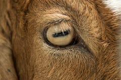 Chiuda sull'occhio delle capre in azienda agricola Immagini Stock
