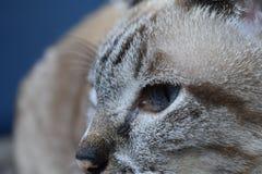 Chiuda sull'occhio di gatto Immagini Stock