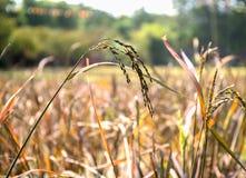 Chiuda sull'orecchio di riso nei campi Immagine Stock Libera da Diritti