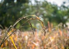Chiuda sull'orecchio di riso nei campi Immagini Stock Libere da Diritti