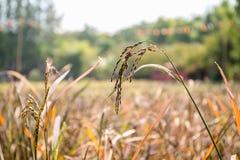 Chiuda sull'orecchio di riso nei campi Immagine Stock