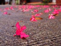 Chiuda sull'uguagliare la strada cementata grungy sporca, fiore rosa caduto Immagine Stock