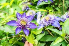 Chiuda sulla bella clematide di fioritura Jackmanii Fotografia Stock