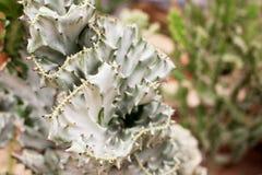 Chiuda sulla bella pianta verde e bianca del cactus per fondo Immagine Stock