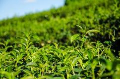 Chiuda sulla cima dell'albero del tè Fotografia Stock