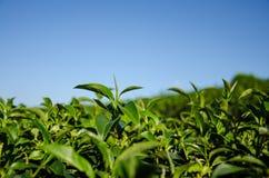 Chiuda sulla cima dell'albero del tè Immagini Stock Libere da Diritti