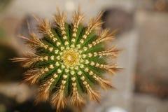 Chiuda sulla cima di un cactus fotografia stock