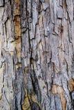 Chiuda sulla corteccia dell'albero chiamato di Baywood del tronco di albero, Mahogani, beaut fotografie stock