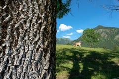Chiuda sulla corteccia di albero della cenere su un pascolo della mucca Fotografie Stock Libere da Diritti