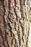 Chiuda sulla corteccia di albero in legno Fotografia Stock