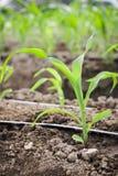 Chiuda sulla crescita del cereale della piantina nell'azienda agricola dell'agricoltura della pianta del campo Immagini Stock Libere da Diritti