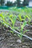 Chiuda sulla crescita del cereale della piantina nell'azienda agricola dell'agricoltura della pianta del campo Fotografia Stock Libera da Diritti
