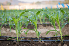Chiuda sulla crescita del cereale della piantina nell'azienda agricola dell'agricoltura della pianta del campo Immagine Stock Libera da Diritti