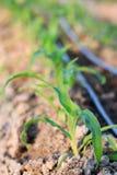 Chiuda sulla crescita del cereale della piantina nell'azienda agricola dell'agricoltura della pianta del campo Fotografie Stock Libere da Diritti