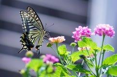 Chiuda sulla farfalla sul fiore, Giappone Fotografie Stock Libere da Diritti
