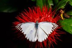 Chiuda sulla farfalla sul fiore rosso Immagine Stock