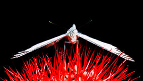 Chiuda sulla farfalla sul fiore rosso Fotografie Stock Libere da Diritti