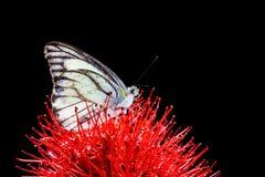 Chiuda sulla farfalla sul fiore rosso Fotografie Stock